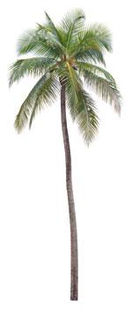 Alleskönner Kokospalme