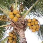 Vorsicht, Kokosnuss! Herabfallende Früchte sollen für den Menschen deutlich gefährlicher sein als Angriffe durch Haie. Kokosnussbedingte Todesfälle und Verletzungen werden allerdings in keiner internationalen Statistik eigens erfasst.