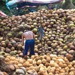 Kokosboom: 900 Millionen Kokospalmen müssten neu gepflanzt werden, um die große Nachfrage zu stillen