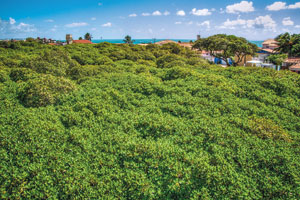 Wie ein Wald und doch nur ein einziger Baum: Der wohl größte Cashew der Welt wächst in Brasilien und wurde vermutlich im Jahr 1888 gepflanzt.