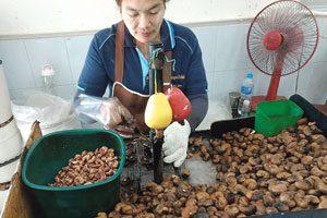 Cashews in Rohform werden in einem aufwändigen Prozess verarbeitet.