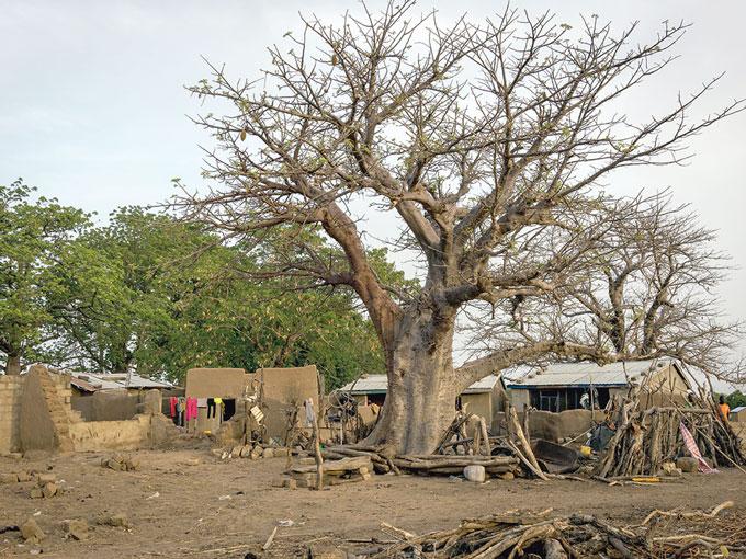 Baobab Baum Ghana